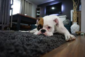 cane pigro